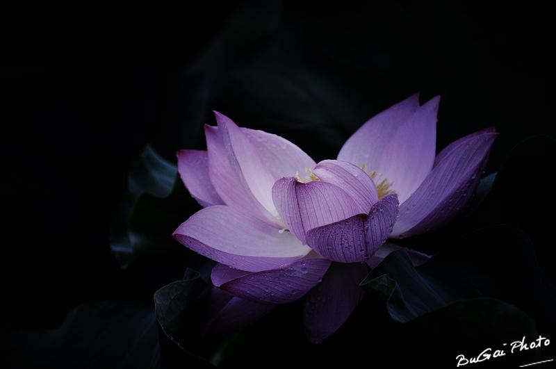 紫色荷花背景图