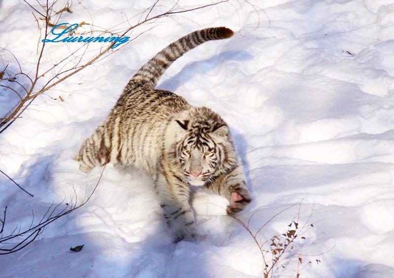 北京动物园的孟加l拉小白虎开门迎新春(照片添加)