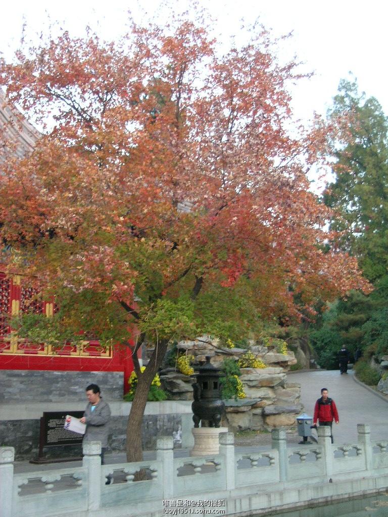 10万余株黄栌形成了驰名中外的香山红叶.