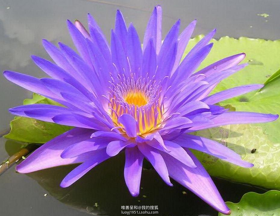 紫色九品香水莲花