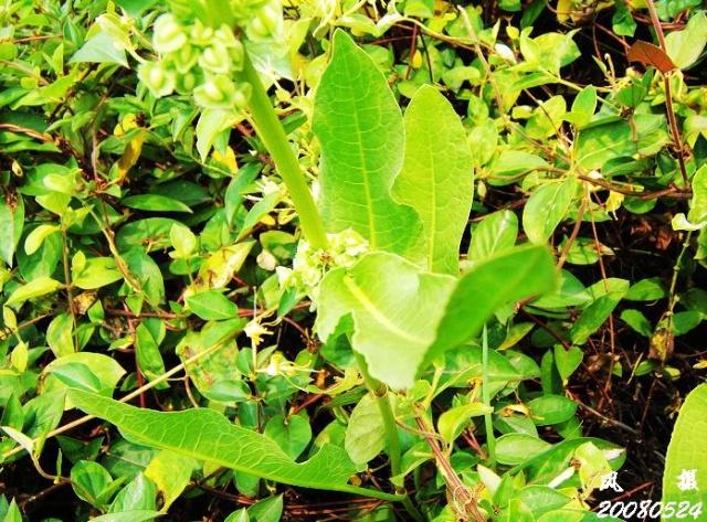 蓼科polygonaceae图片