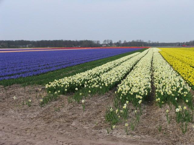 """外国的""""月亮""""比中国的""""月亮""""圆:看荷兰""""花田""""与花卉"""