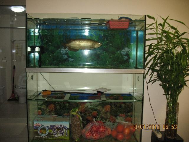 急售4年金龙鱼加双层鱼缸
