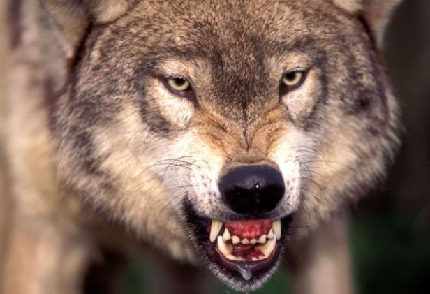 野生大灰狼的平均寿命只有在动物园里养的一半.