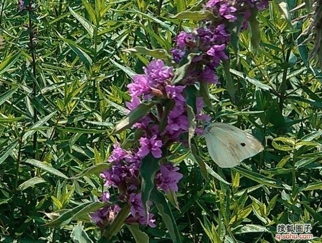 紫藤萝盛开的春天