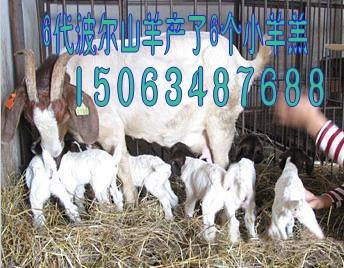 山东的波尔山羊种羊价格 哪里卖波尔山羊种羊的多