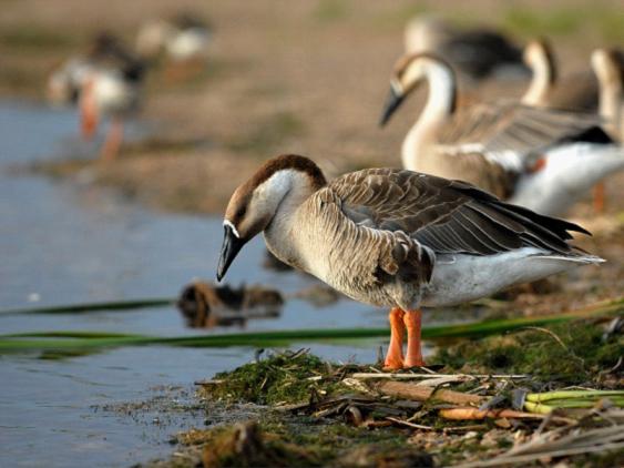 大雁国家保护动物